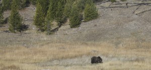 Grizzly_OldFaithful